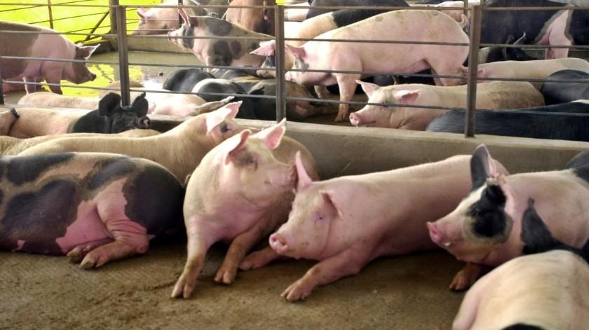 Porcicultores de Navojoa aseguran que están teniendo un mal año.(Banco Digital)