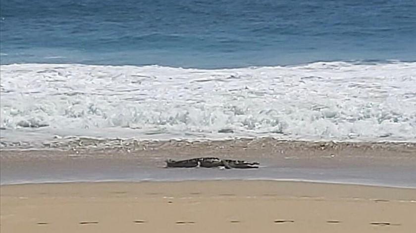 Por ahora las autoridades han solicitado a la gente evitar introducirse a la playa para no ser atacados por el cocodrilo.