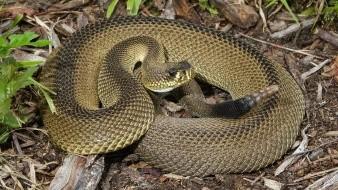 El raro ejemplar de serpiente de cascabel diamantina que se capturó y cuyo patrón de escamas no sigue la característica forma de diamante a la que le debe el nombre.