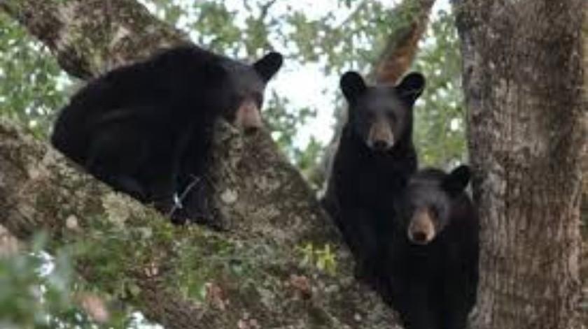 Graban a osos jugando en estacionamiento(Tomada de la red)