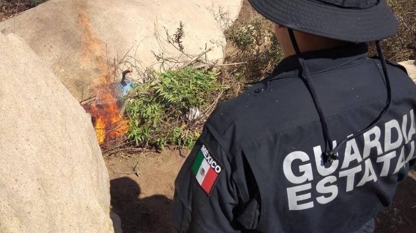 Destruyen plantío de mariguana en Tecate(Cortesía)