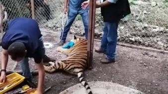 El tigre de Bengala se encontraba en cautiverio en una casa de narcos, en Guerrero
