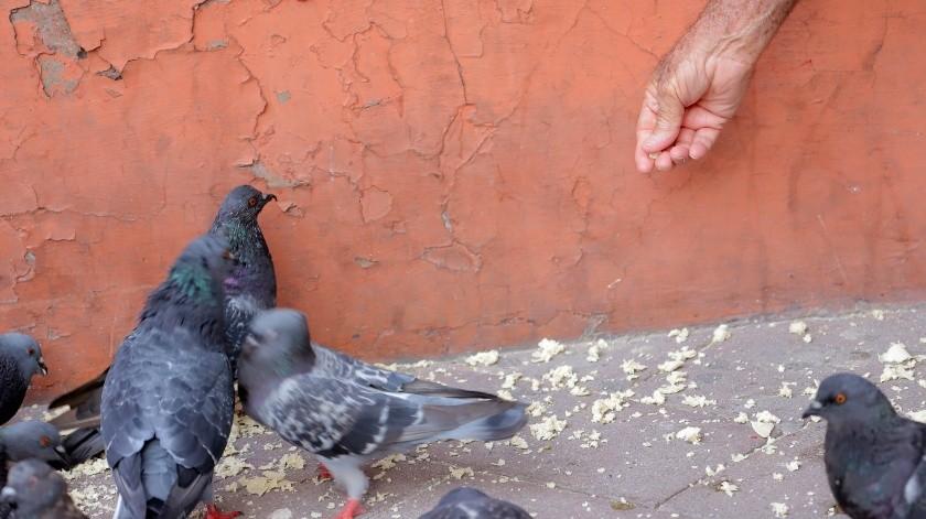 Las aves esperan su llegada en lo alto de los edificios de la calle Serdán y en cuanto lo ven bajan veloces para recibirlo en un lote baldío, donde atiende a la primera parvada.