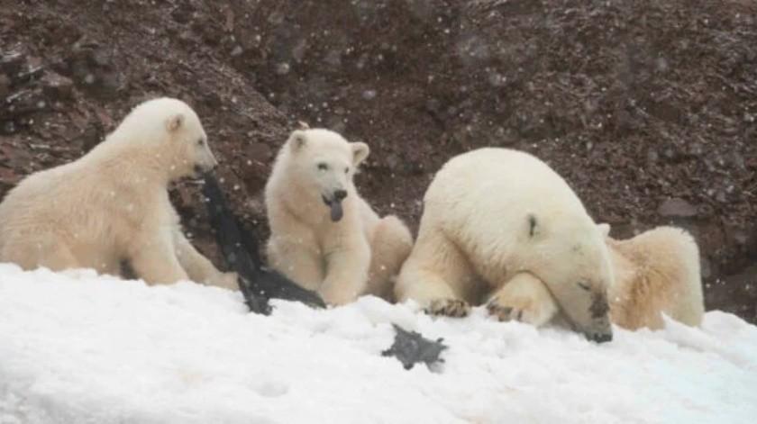 Encuentran a osos polares peleando por una bolsa de plástico(Tomado de la red)