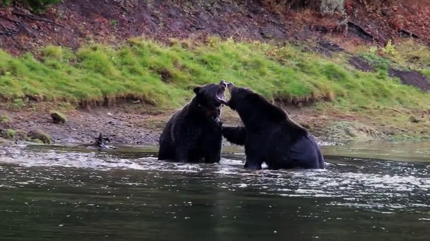 Pelea de osos en un río por los restos de un ciervo(Tomada de la red)