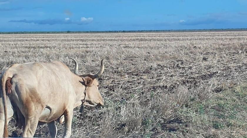 La sequía está matando a decenas de animales en el Sur del Estado, reportan ganaderos.(Jesús Palomares)