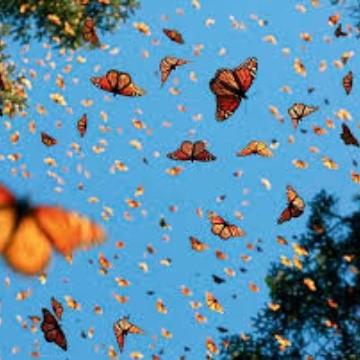 Colibrí robot capta el momento en que miles de mariposas monarca alzan el  vuelo | EL IMPARCIAL | Noticias de México y el mundo