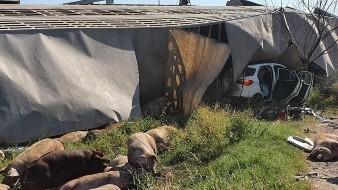 Se vuelca tráiler con cerdos sobre camioneta en carretera a La Colorada; hay dos heridos