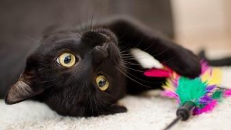 Piden no dar en adopción a gatos negros que pudieran ser sacrificados en 'Halloween'