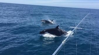 Orcas permanecen en las costas de Sonora desde septiembre