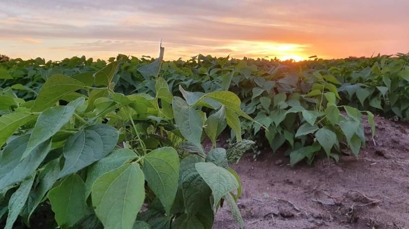 El calor ha dañado algunas plantas de frijol y maíz elotero en la Región de Mayo.(Jesús Palomares)