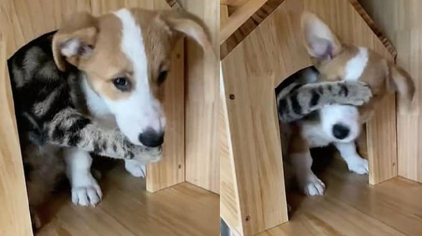 Gato no deja salir a perro de su casa(/img/2020/10/15/1354272.jpeg)