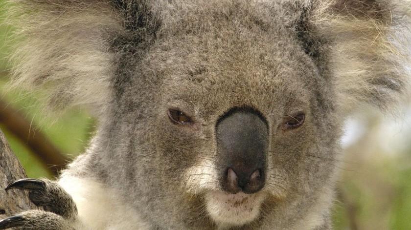 Koala veterano recibió  de mala gana a otro más joven en su refugio(Tomada de la red)