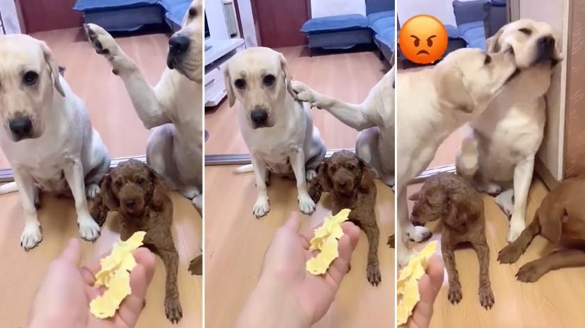 Un perro que delata a su 'amigo' con la pata arrasa en TikTok(tiktok.com/@petsbaby)