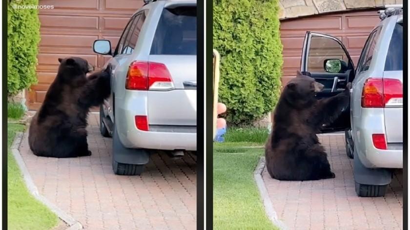 Captan a oso abriendo la puerta de una camioneta; así reaccionó