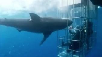 Tiburón blanco intenta romper una jaula con turistas adentro