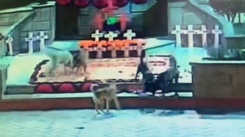 VIDEO: Perros destruyen ofrenda dedicada a víctimas de feminicidio en Zumpango(Captura de video)