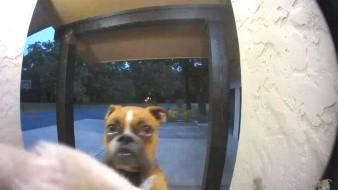 Este perro se hace viral por tocar el timbre de su hogar