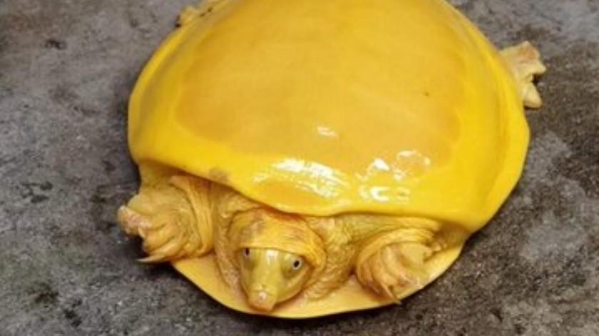 Por segunda vez en un año encuentran  una tortuga amarilla en la India(Tomada de la red)