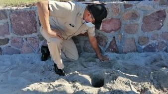 La Semar resguardó un nido de tortugas golfinas donde eclosionaron 64 huevos
