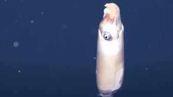 Captan  imágenes de uno de los calamares más extraños