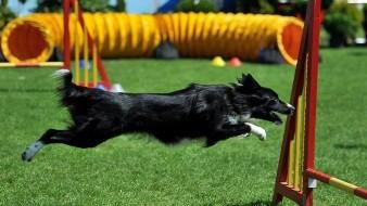Un border collie participando en un concurso de saltos.
