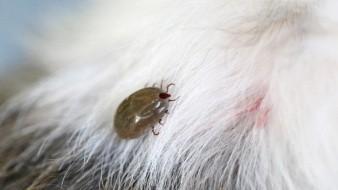 Las garrapatas pueden transmitir a los humanos una enfermedad conocida como fiebre maculosa de las Montañas Rocosas.