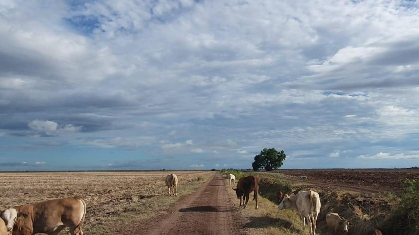 Algunos productores han tenido que vender su ganado al no haber pastura en los agostaderos.(Jesús Palomares)