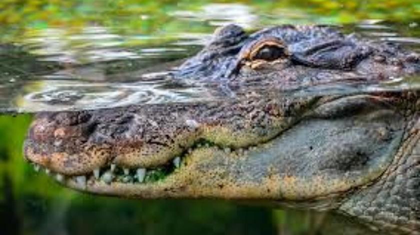Hombre se lanza a un estanque para rescatar a un cachorro de las fauces de un caimán(Tomada de la red)