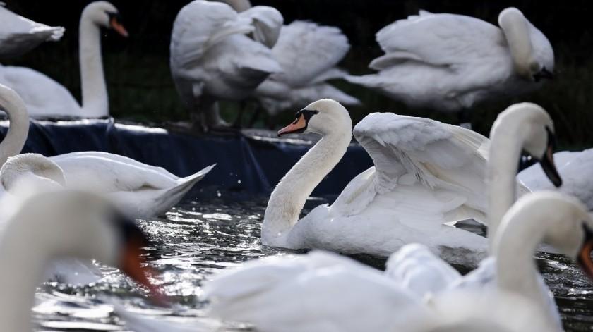 En Bélgica pone en confinamiento a todos los cisnes por alarmante brote de gripe aviar(Tomada de la red)