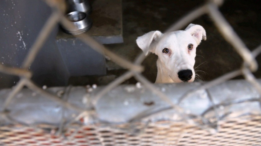 Casi 500 mascotas han sido adoptadas durante la contingencia: CAM(Archivo)