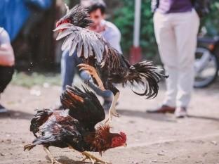 200 violan cuarentena por pelea de gallos