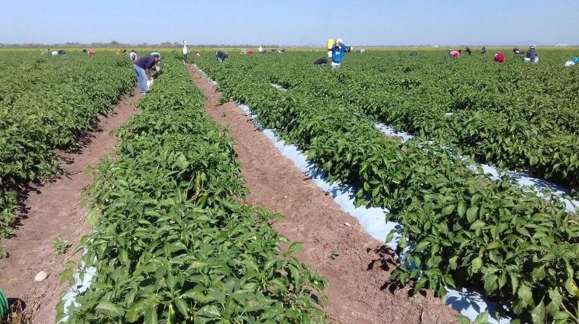 Le ha faltado frío a los cultivos de tomatillo y chile en el Sur del Estado.(Banco Digital)