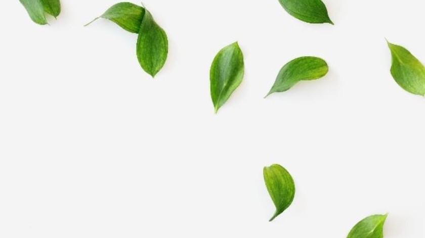 El extracto de Camellia sinensis conocido popularmente como té verde, ha sido usado durante siglos como bebida medicinal.(Cortesía)