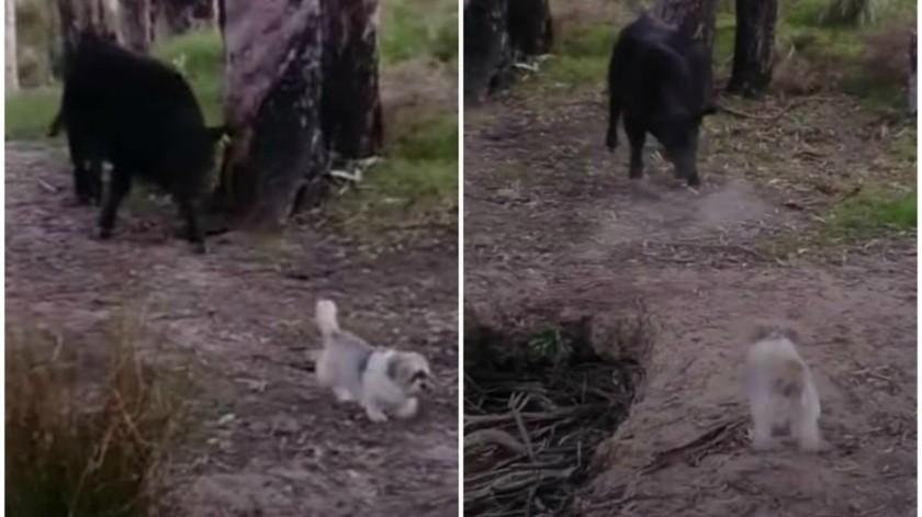 Perrito pelea con un toro que lo perseguía