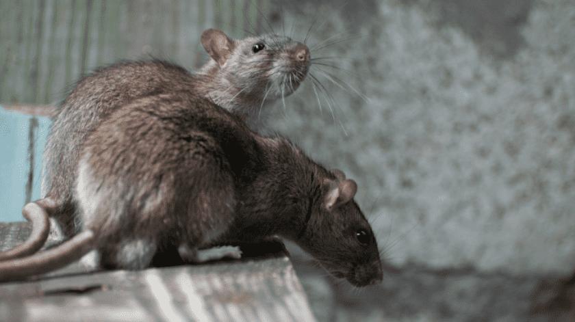 Denuncian plaga de enormes ratas(Tomada de la red)