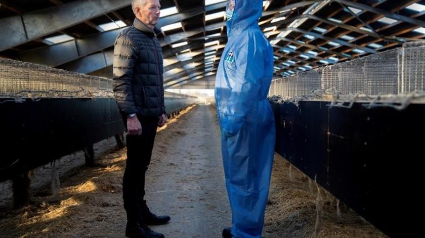 A un mes de ordenar el sacrificio de los visones, el gobierno de Mette Frederiksen se enfrenta a la presión de la oposición y las asociaciones de criadores de visones.(EFE)
