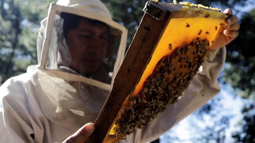 Según los datos de la Secretaría de Agricultura mexicana, el año 2019 México produjo 61 mil 900 toneladas de miel(EFE)