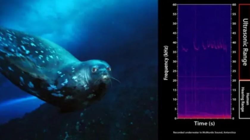 Focas usan especie de lenguaje bajo el agua que casi ninguna otra especie puede oír(Observatorio Oceanográfico McMurdo)