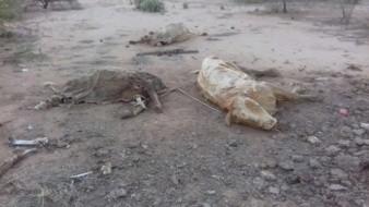 La sequía está matando al ganando en los valles de Guaymas y Empalme