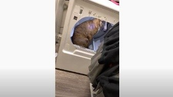 Perro prefiere vivir en la secadora de su dueña