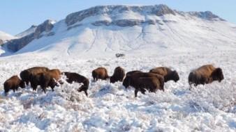A través de redes sociales, Albores compartió imágenes de la manada de la especie bison bison y destacó el establecimiento de los mamíferos, por parte de la Comisión Nacional de Áreas Naturales Protegidas (Conanp).