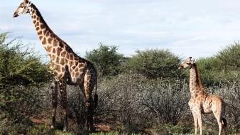 Los investigadores están estudiando ahora si esta anomalía estaría o no relacionada con una abrupta disminución, en las últimas tres décadas, del número de jirafas salvajes.