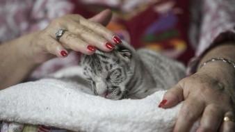 Nace una tigresa blanca en el zoológico de Nicaragua
