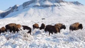 Reintroducen a su hábitat en Coahuila a bisontes americanos