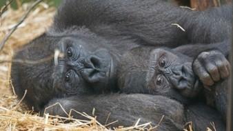 Ocho gorilas del zoológico de San Diego se infectaron de Covid-19