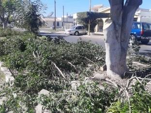Temen vecinos de la colonia Chapultepec quedarse sin árboles