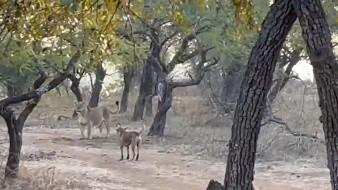 Perro sorprende a unos turistas en la India tras enfrentarse a una leona y salir victorioso