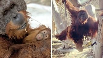 Orangután sorprende al hacerse cargo de su hija tras la muerte de la madre