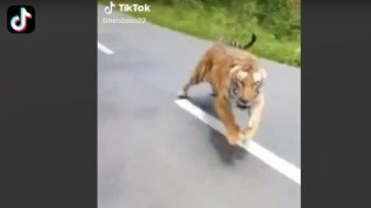 Tigre asusta a jóvenes que paseaban en motocicleta